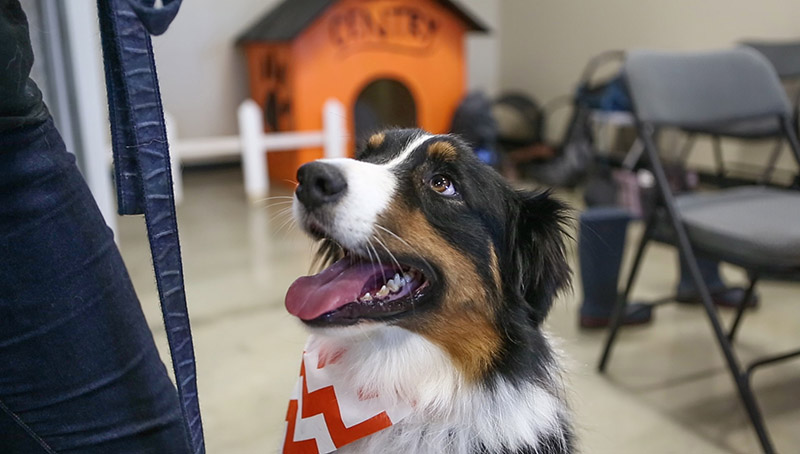 Border collie Royal sits at attention